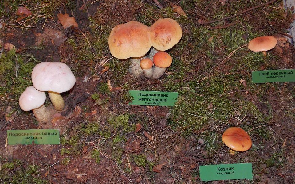 Любимые всеми трубчатые грибы