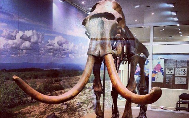 Скелет мамонта в Смоленском историческом музее